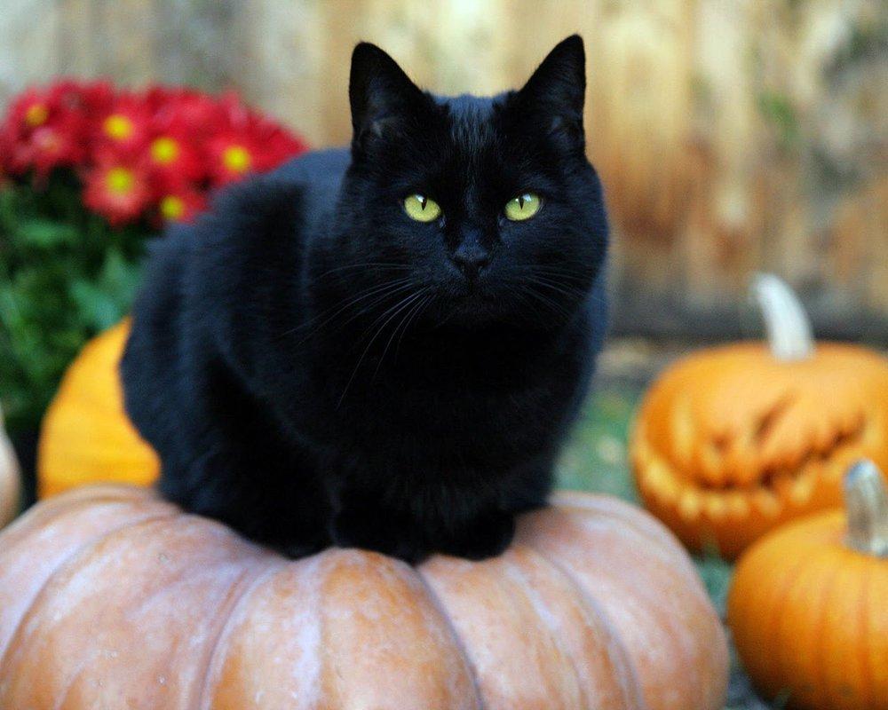 Черный кот – исчадье ада или жертва наветов?