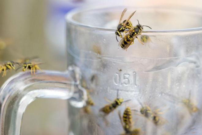 Почему осы становятся летом агрессивными: во всем виноват алкоголь