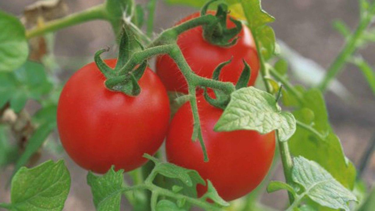 Уход за томатами. Ускоряем созревание и защищаем от болезней