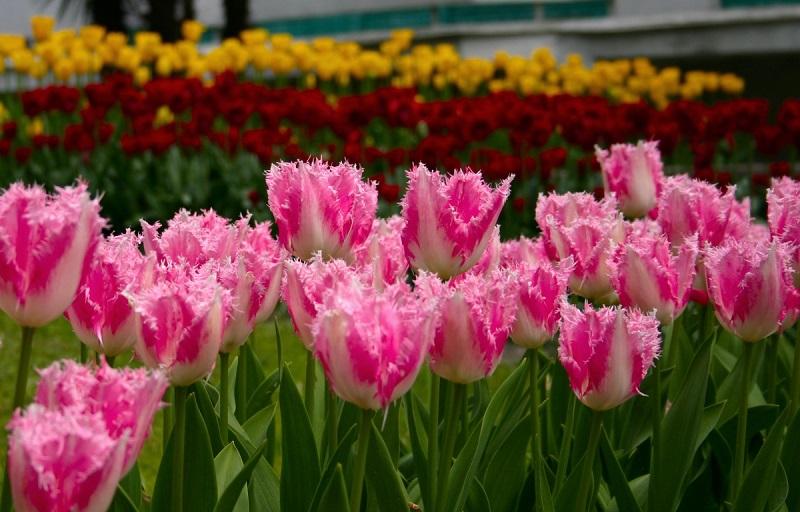 15 идей для посадки тюльпанов в доме и на клумбе
