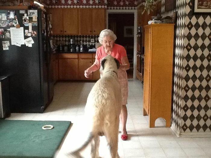 41. Бабуля и ее 60-килограммовый волкодав волкодав, волкодавы, домашние питомцы, забавные собаки, собаки, собаки и дети, собаки и хозяева, фото собак