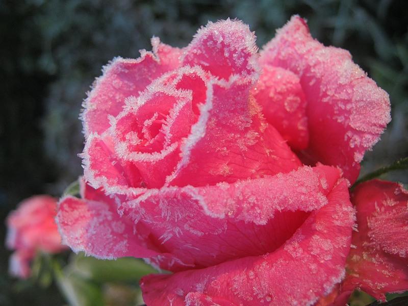Хрупкая красота: покрытые инеем