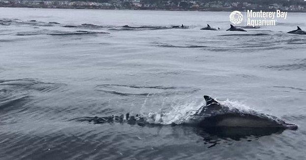 Гигантская стая дельфинов оживила океан дельфины, залив Монтерей, калифорния, море, морские обитатели, океан, стадное чувство, стая дельфинов