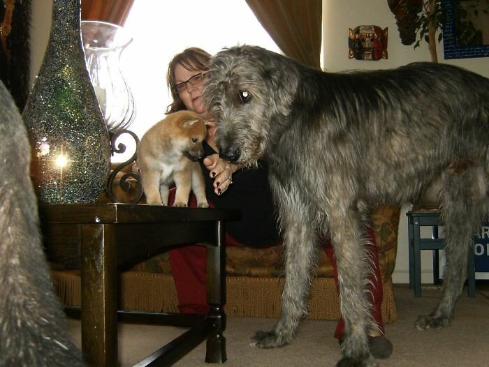 47. Щенок сиба-ину (6 недель от роду) и ирландский волкодав волкодав, волкодавы, домашние питомцы, забавные собаки, собаки, собаки и дети, собаки и хозяева, фото собак