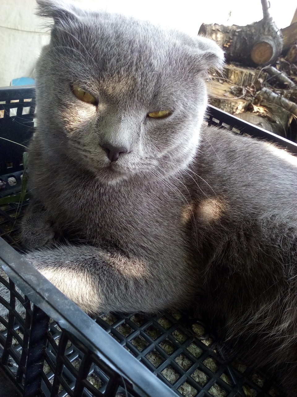 Помогите найти ДРУГА! Пропал наш любимец, шотландский вислоухий кот!