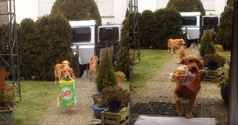 Три собаки с удовольствием помогают хозяину вынести покупки из авто. Удивительное зрелище!