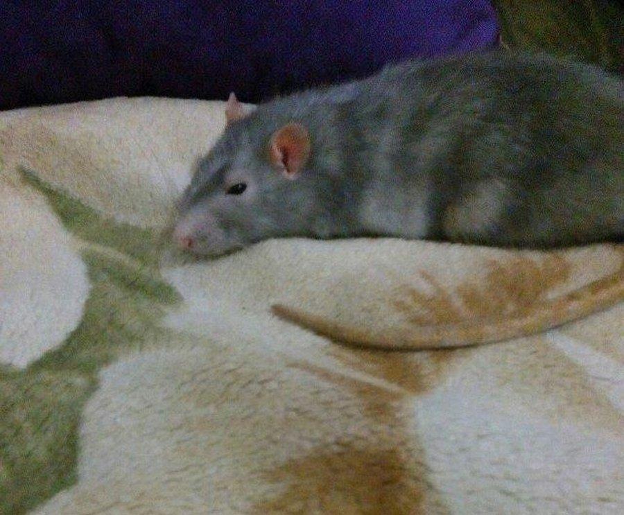 Маленькое чудо: спасение доверчивой крыски