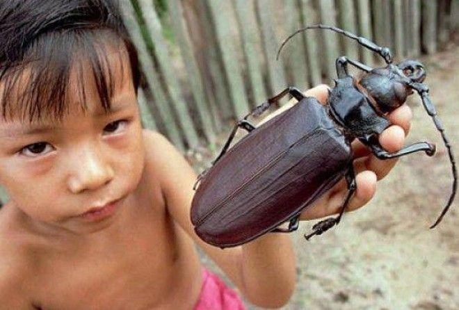 Огромнейшие жуки нашей планеты, которые напугают кого угодно животные,жуки,интересное,насекомые