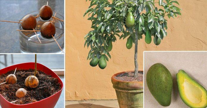 Вот как вырастить дерево аво…