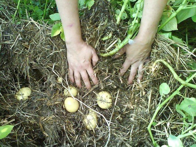 Выращиваем  картофель без перекопки грунта