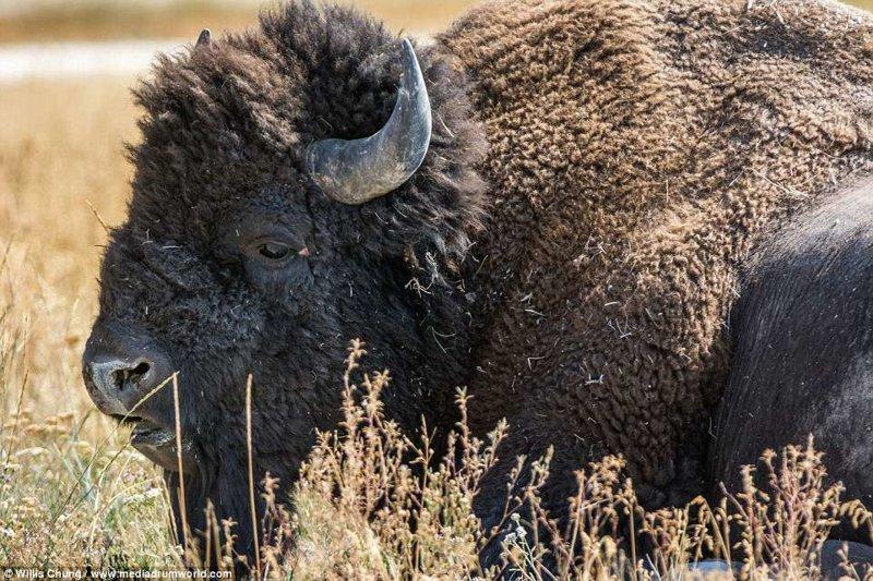 Когда на тебя несется бизон тонной весом атака, бизон, животные, фотограф