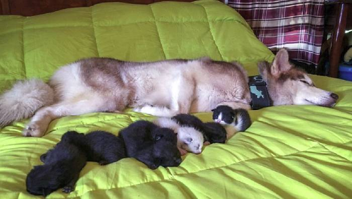 Хаски спас 7 котят. Собака друг не только человека истории из жизни,супер