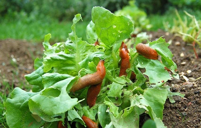 Как бороться с улитками и слизнями на садовом участке