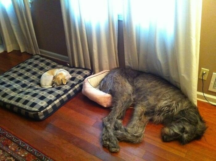 """3. """"Посплю-ка я тут"""" волкодав, волкодавы, домашние питомцы, забавные собаки, собаки, собаки и дети, собаки и хозяева, фото собак"""