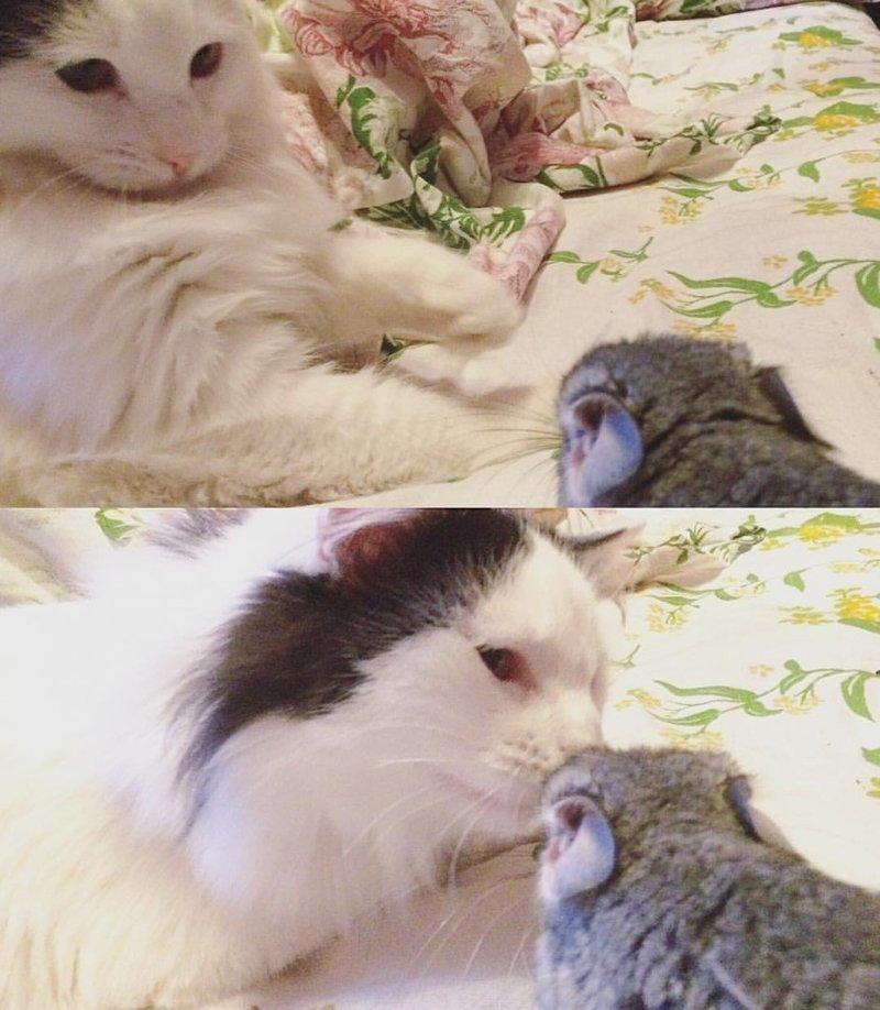 """Кот и шиншилла """"снюхались"""" дружба, животные, коты, кролик, попугай, собака, черепаха"""