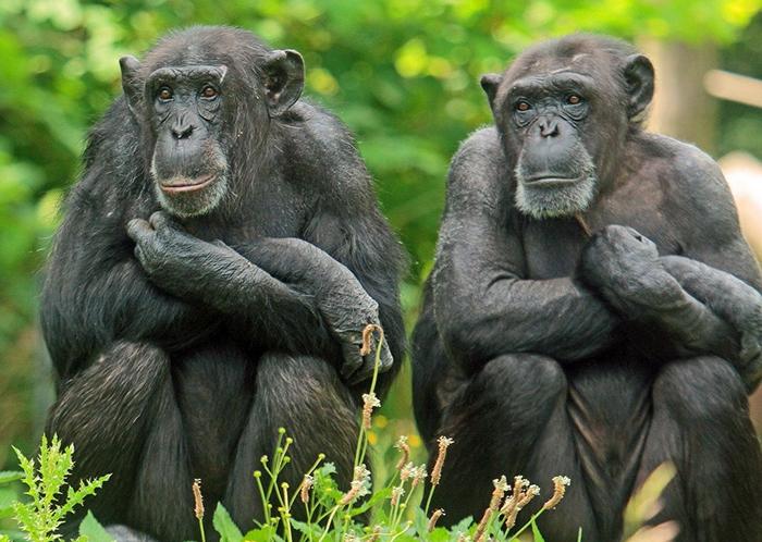 Илья Иванов был уверен, что возможно скрестить человека и обезьяну.