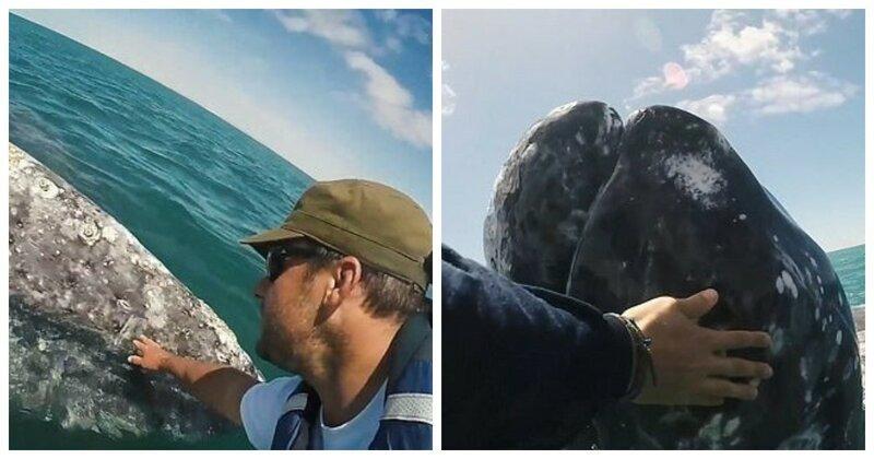 Детеныш серого кита подплыл к людям, чтобы его погладили встреча, детеныш, животные, мексика, серый кит, судно, человек