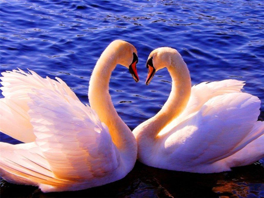 картинки символ любви лебеди всего