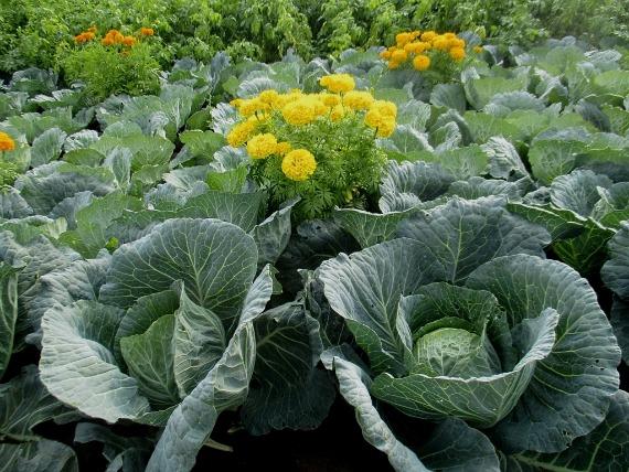 Какие растения могут отпугнуть вредителя