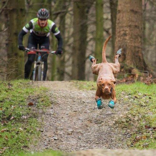 Обутый пёс, бегущий впереди велосипедиста, и фотожабы на него