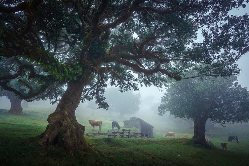 Очаровательные снимки древнего лаврового леса Мадейры с 500-летними деревьями частью, деревьями, своими, лаврового, является, Мадейре, тропами, пешеходными, примечателен, особенно, Фанал, островах, Канарских, Азорских, МестоОстров, только, можно, Теперь, типом, покрыта
