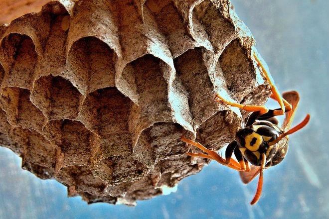 Как уничтожить осиное гнездо пылесосом