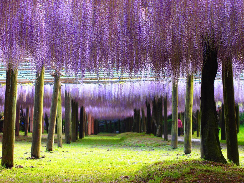 Дерево глициния в японии фото