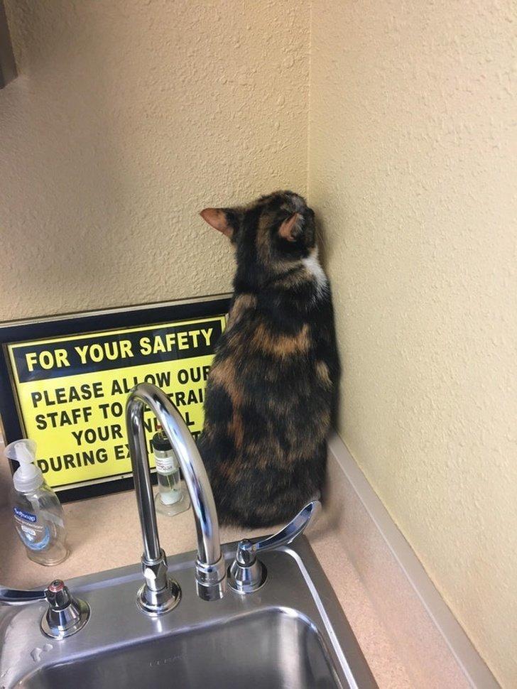 Кошка обиделась из-за того, что ее привели к ветеринару животные, коты, настроение