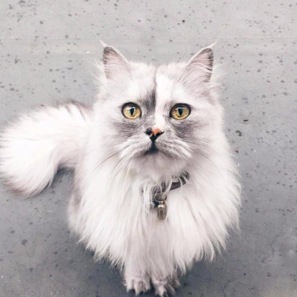 Алиса — спасенная кошка с самой красивой мраморной шерстью в мире