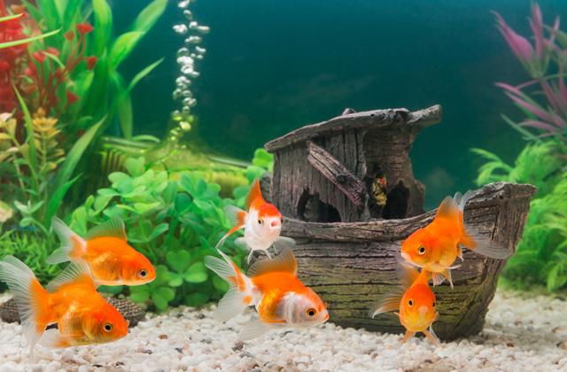 Могут ли аквариумные рыбки выжить в обычном пруду?