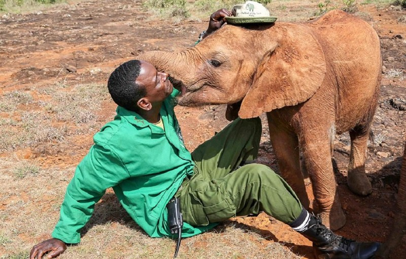 Осиротевшая слониха целует мужчину, спасшего ее от смерти