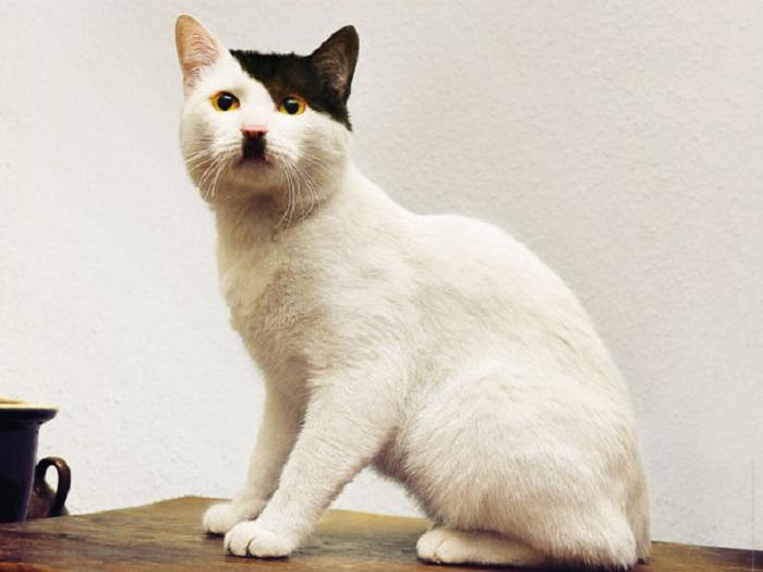 Кот, которому необычный окрас придал схожесть с Гитлером.