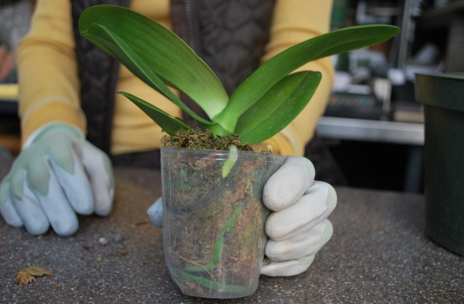 Адаптация азиатских орхидей …