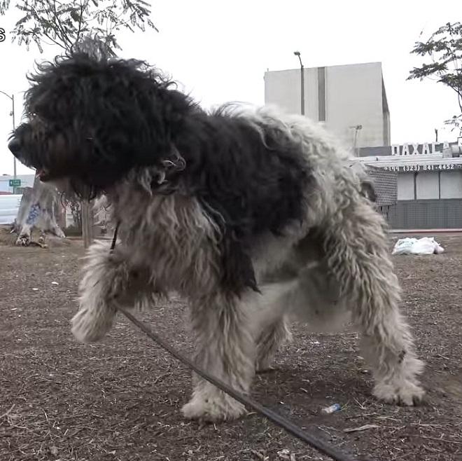 Пес на цепи