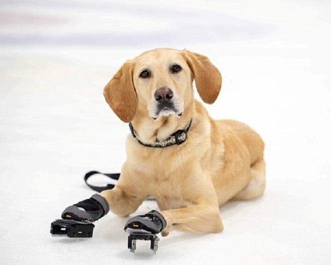 Собака в коньках