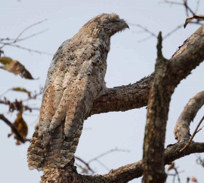 Исполинский козодой: птица, окутанная ореолом тайн и мрачных поверий исполинский козодой, козодой, редкое животное