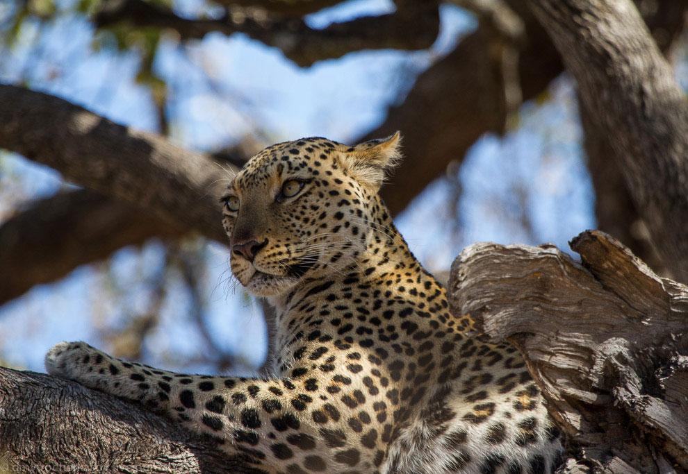 Жизнь леопардов в объективе зверье
