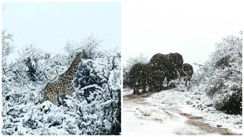 Сюрреалистические кадры: в Африке выпал снег, и жирафы гуляют по белоснежному ковру ynews, аномалия, африка, интересное, природа, снег, фото