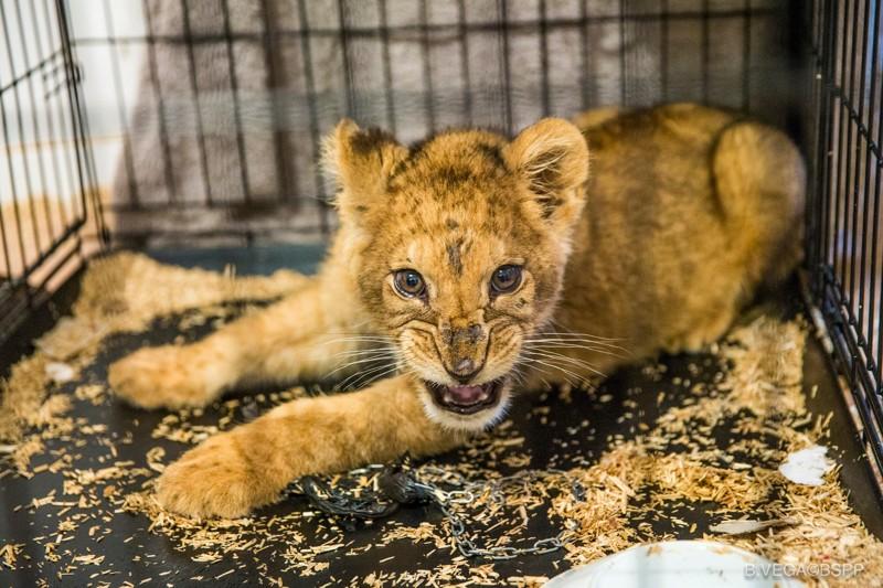 В парижской квартире нашли брошенного голодного львенка