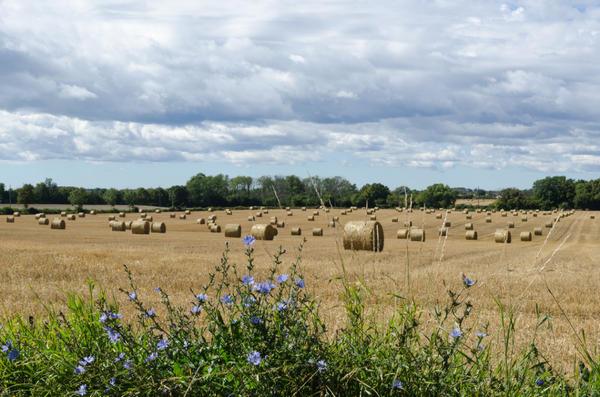В природе цикорий часто встречается на сухих лугах, обочинах дорог, вдоль полей
