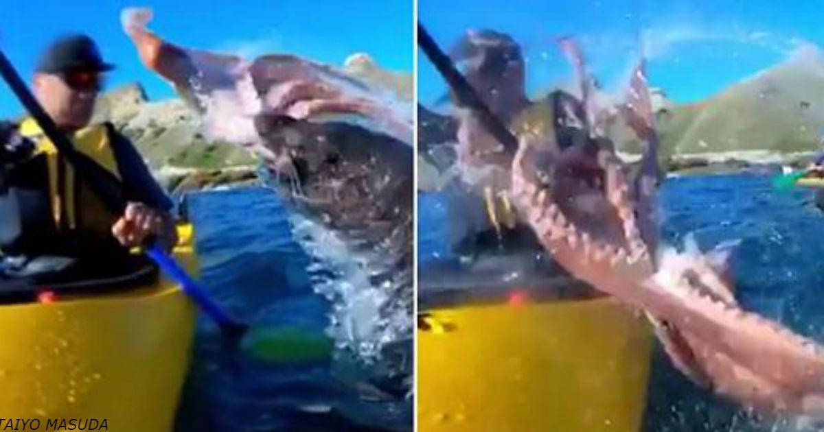 0громный осьминог неожиданно дал по морде мужику в лодке! Вот видео этой странной драки