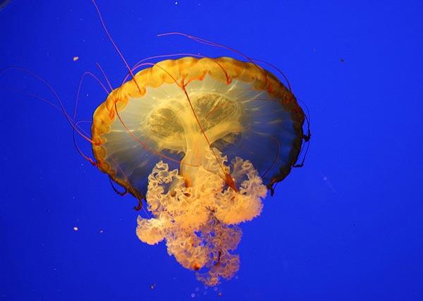 16 фотографий фантастических медуз животные