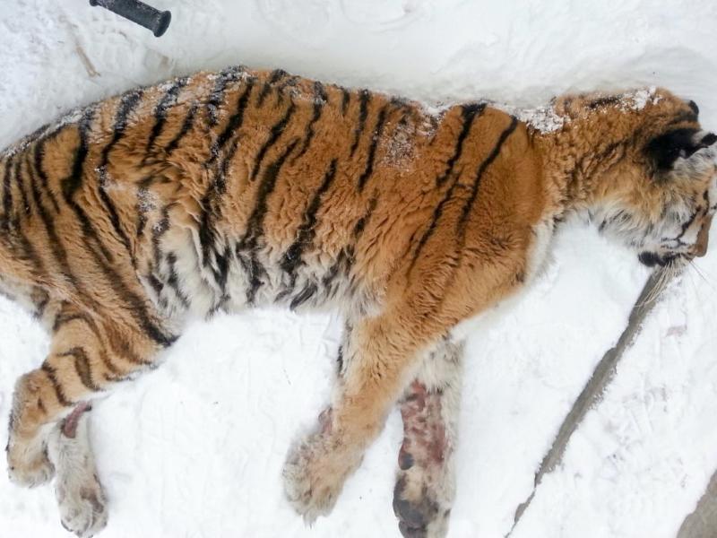 Хабаровчане обнаружили на веранде… неподвижную тигрицу! Но она пришла не ссориться, а кое-о чём попросить