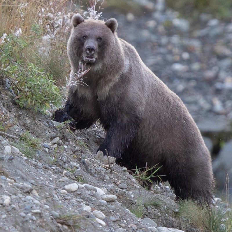 Да, я медведь и я живу на Аляске, передаю привет медведям России аляска, жизнь, лось, медведь, путешествие, сова