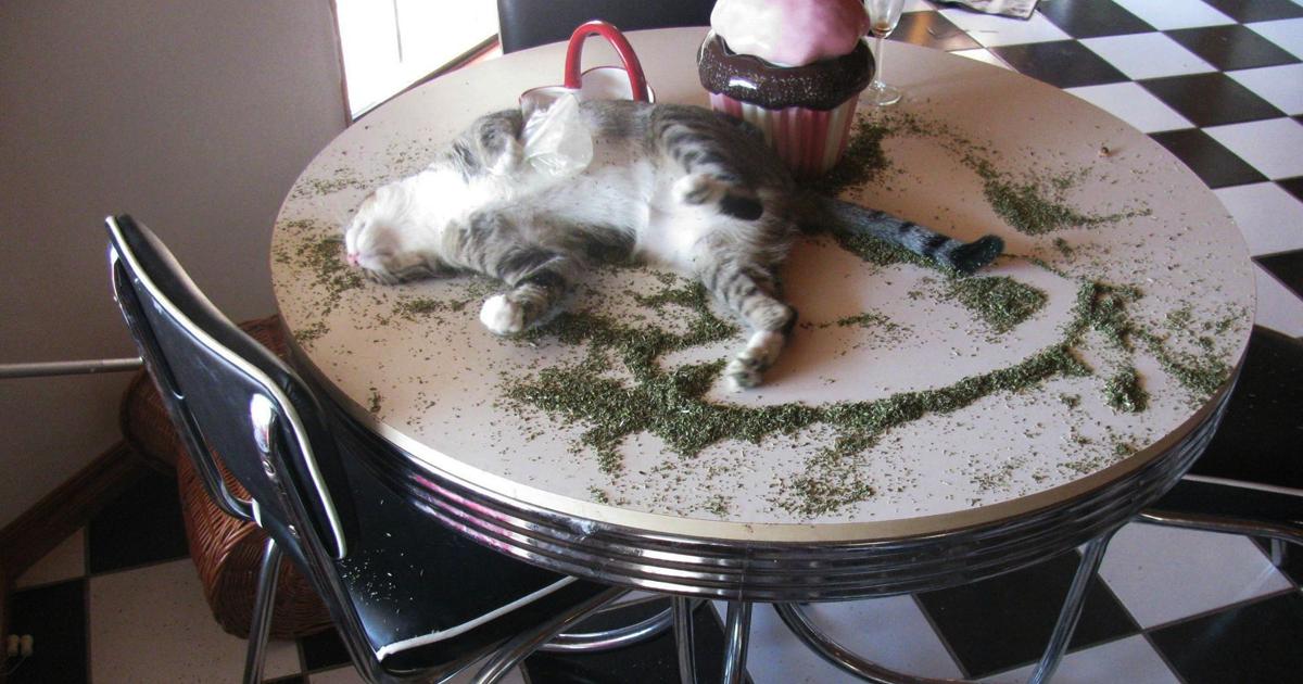 Валериана лекарственная: почему от человеческого успокоительного сходят с ума кошки?