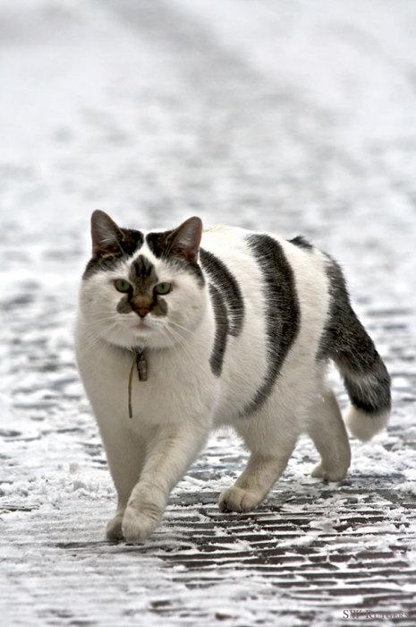 Звезда, ракета или кленовый лист, а что видите вы на мордашке этого большого котика?