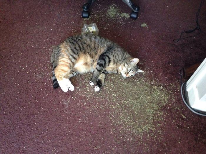 Передозировка кошачьей мятой дом, животные, проступок, шалость
