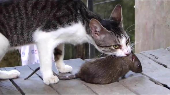 Увидели во сне, как кошка удачно поохотилась, поймала крысу, даже загрызла ее.