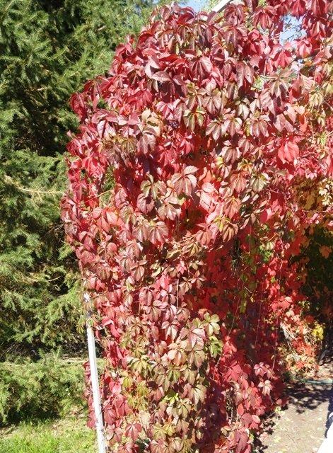 Девичий виноград осенью - фо…
