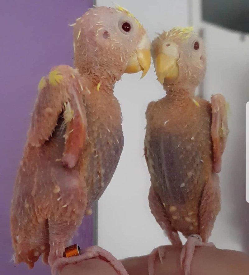 У лысого попугайчика нет перьев, но это не мешает ему веселиться в мире, милота, перья, попугай, птицы